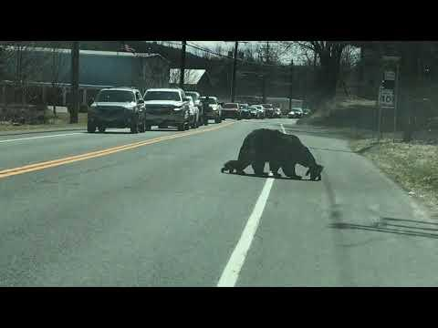 Mama Bear Struggles with Cubs #Video
