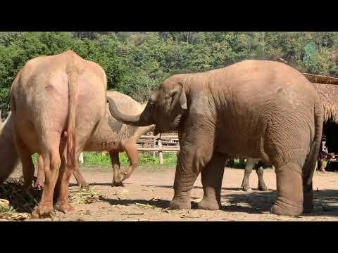 The Friendship Of Baby Elephant Wan Mai And Water Buffalo Video