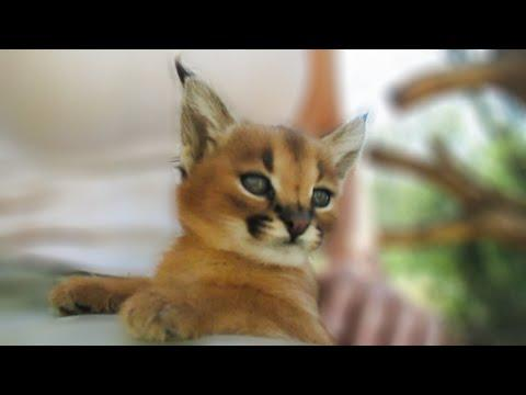 Baby Caracal is too cute for words!! #Video