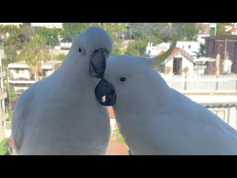 Wild Cockatoo Couple Visit Their Favorite Human Everyday Video