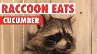 Raccoon Eats Cucumber
