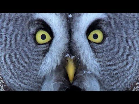 Mesmerizing Owl Moments Video   BBC Earth