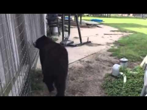 Crazy Wet Bear!