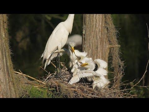 Great Egret chicks battle over leopard frog