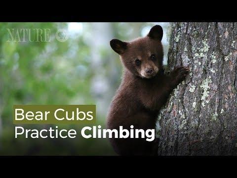 Bear Cubs Practice Climbing