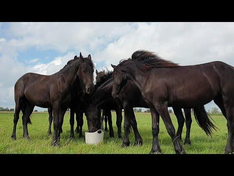Big surprise for the 1 and 2 year old fillies! Friesian Horses.