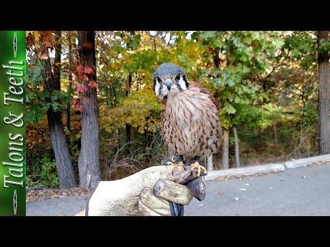 Falcon Belly Dance