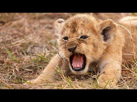 Most Funny and Cute Baby Tiger and Lion Videos
