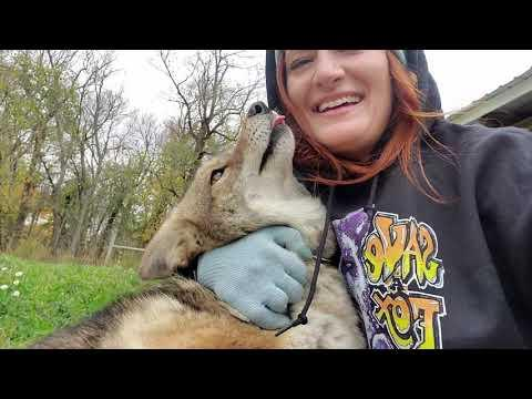 Dakota the coyote gets new toys. Video.