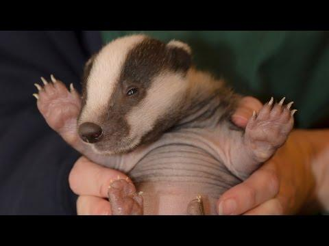 Baby Badgers: Opal, Jet And Topaz Enjoy Life After Rescue