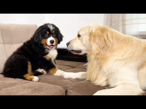 Golden Retriever Meets New Bernese Mountain Dog Puppy for the First Time Video!