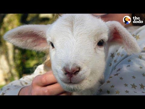 Hyper Little Lamb Is His Dad's Everything - BEANS | The Dodo