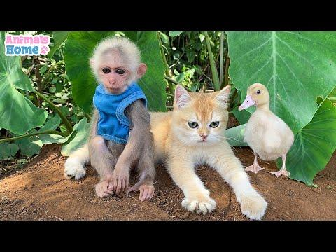 Ody cat protects BiBi monkey from naughty duck #Video