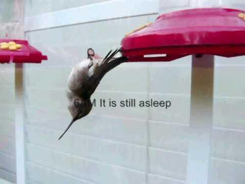 Sleeping Torpor Hummingbird Video in Bellevue Tennessee