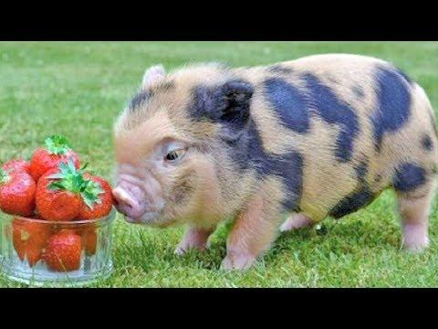 Mini Pig Mayhem – Cute Pet Piggies – Funny Micro Pigs Video – Cute Teacup Pig Videos