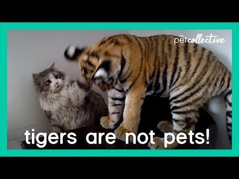 Tigers Are Not Pets | The Pet Collective