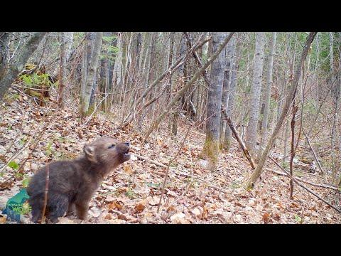 The first howls of a wolf pup in the Northwoods of Minnesota #Video