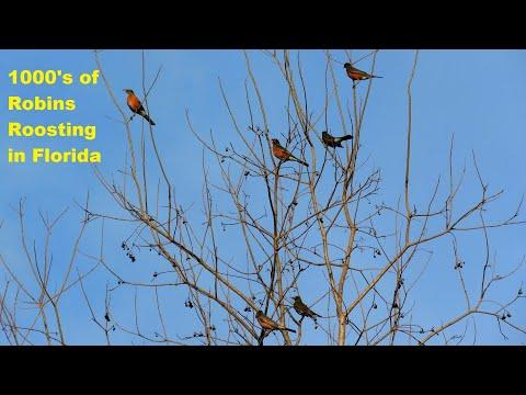 Thousands of American Robins Roost in Florida