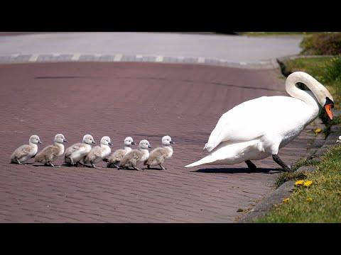 Mute Swan Family with 8 Cygnets Crossing the Road K4 Video
