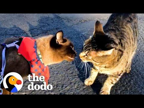 Cat Meets New Boyfriend On A Walk But Is Skeptical About Him At First, Until... #Video
