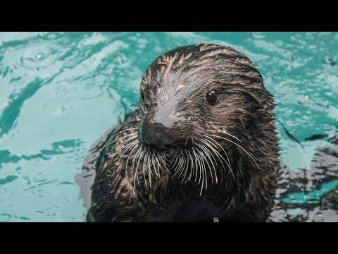 Snacktime With The Sea Otter Lincoln Video