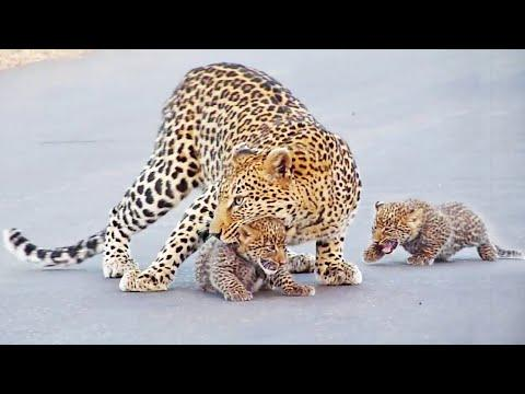 Leopard Teaches Cubs How to Cross the Road Video