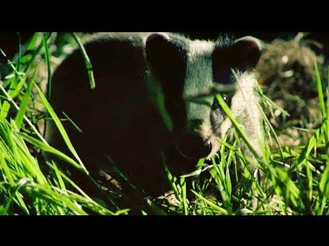 A Badgers New Home | Nature's Boldest Thieves | Earth Unplugged