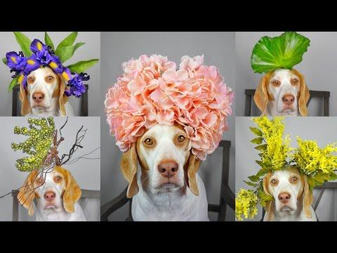 Maymo Dog Balances 50+ Flowers & Plants On Head