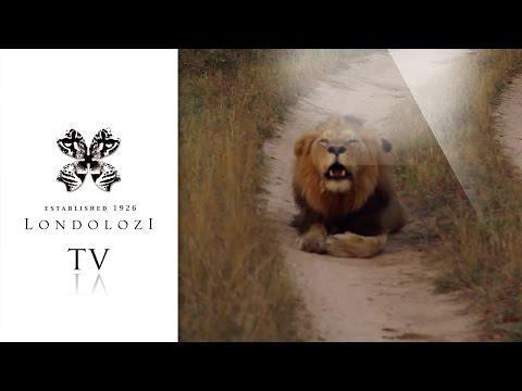 Male Lion Roaring In Road