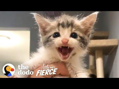 This Permanent Kitten Loves To Be The Center Of Attention | The Dodo Little But Fierce