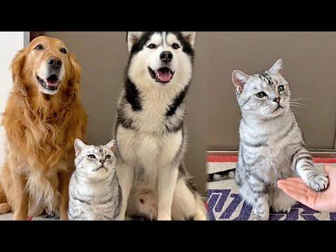 Cat Having Fun Time with Husky and Golden Retriever Video