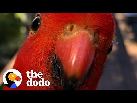 Red Parrot Brings Girlfriend Over To Meet The Woman He Visits Every Day Video
