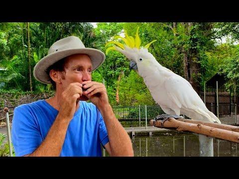 Bird sings with beatbox harmonica video