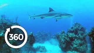 Protecting Ocean Anchor Species   Racing Extinction (360 Video)