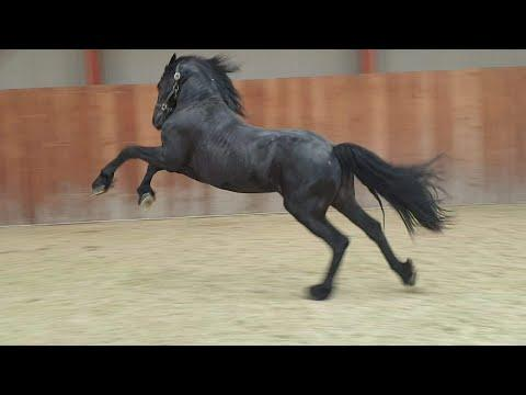 The latest funny moments of Friesian horses Andre and Bauke.