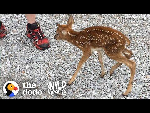 Tiny Baby Deer Asks People to Rescue Her #Video