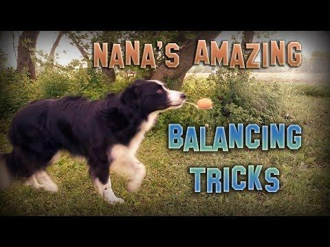 Nana The Border Collies Amazing Balancing Tricks
