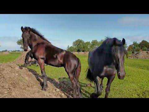 Walk with the Friesian horse herd.