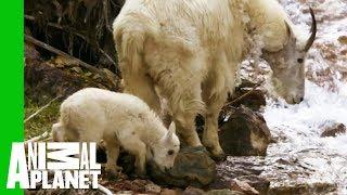 Baby Mountain Goat Learns To Follow In His Mother's Footsteps | North America