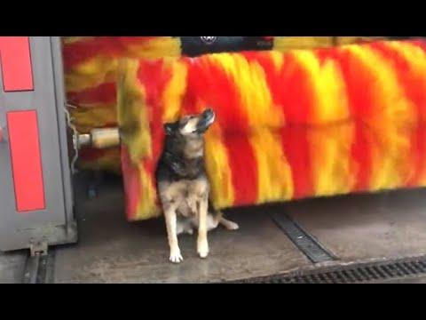 Dog Loves The Car Wash. Your Daily Dose Of Internet