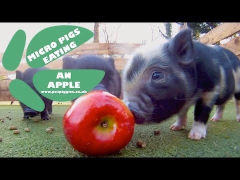 Micro Pig Babies Enjoying An Apple