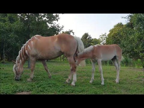 Too hot outside ... Last time we see the blondies? Friesian horses.