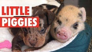 Cute Little Piggies Video Compilation 2017