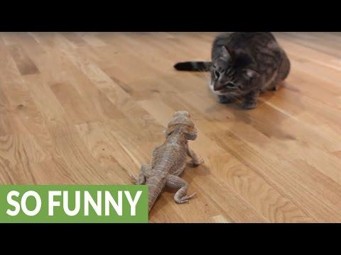 Curious cat meets friendly bearded dragon video