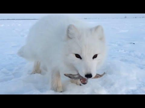 Baby Arctic Fox Steals Mans Fish #Video