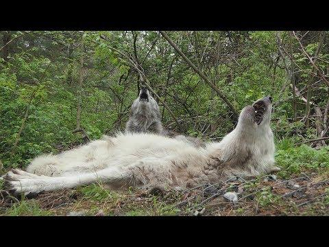 The Funniest Wolf Howls Are Lazy Ones #Video