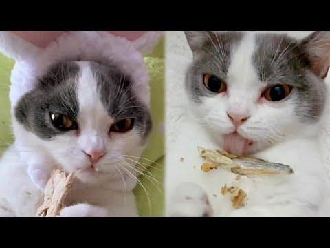 Munchkin Kitty Eating Dried Fish ASMR Video