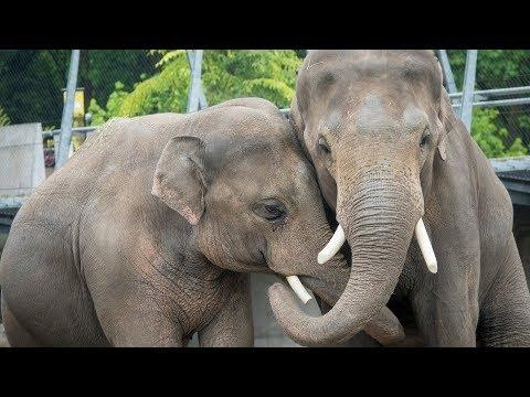 Male Elephants Samson and Samudra Meet