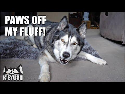 Arguing With My Husky About His Shedding! Video.
