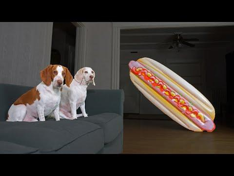 Dog vs Giant Hot Dog Prank! Funny Dogs Maymo, Potpie, & Penny Fight Junk Food